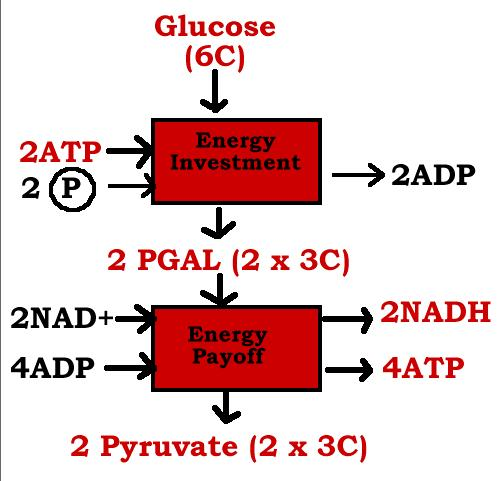 Oak ridge ap biology glycolysis ccuart Image collections