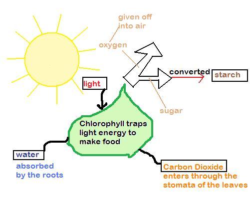 Oak ridge ap biology photosynthesis and chloroplast photosynthesis and chloroplast ccuart Choice Image