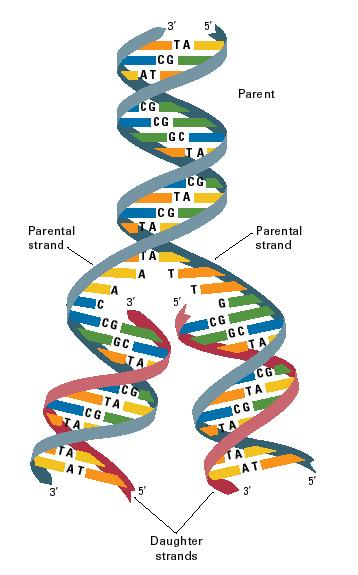 Dna Structure And Replication - Lessons - Tes Teach